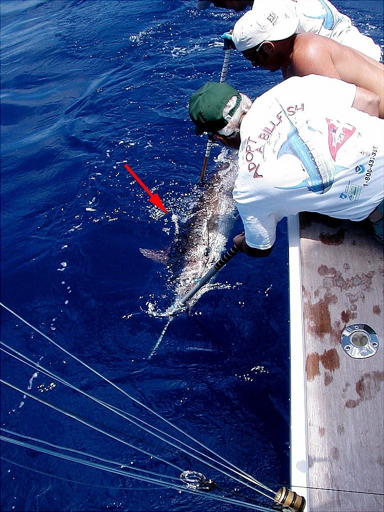A satellite tag is attached to a blue marlin by co-author Eric Prince (left). Photo: NOAA fisheries