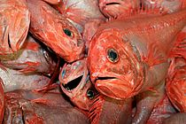 Orange roughy (deep sea perch) are among the best known deep sea species. Their stocks are overfished, and Australia and New Zealand have placed a moratorium on this type of fishery. Photo: Claire Nouvian