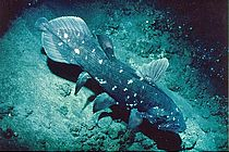 A coelacanth (lobe-finned fish) (Latimeria chalumnae), photographed during a JAGO ​​dive. Photo: Jürgen Schauer, GEOMAR