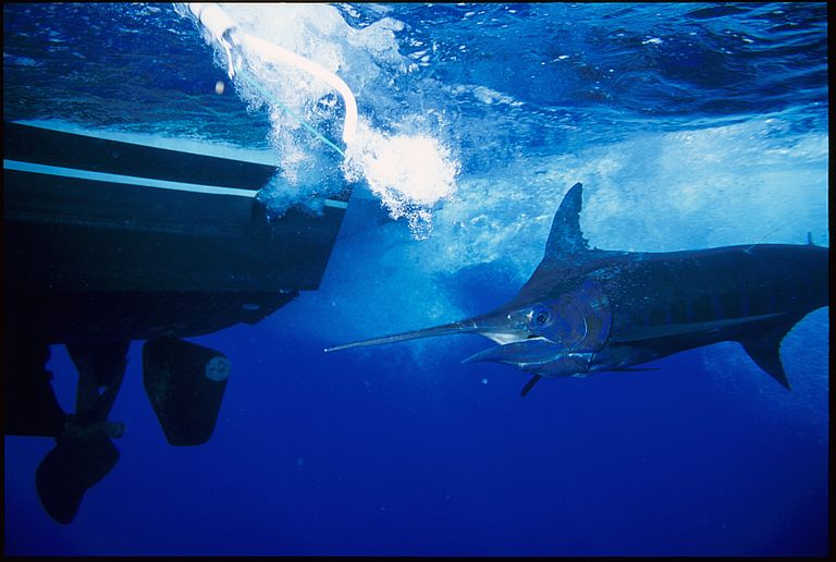 The Blue Marlin ist one of the fastest fish in the ocean. Photo: Guy Harvey.