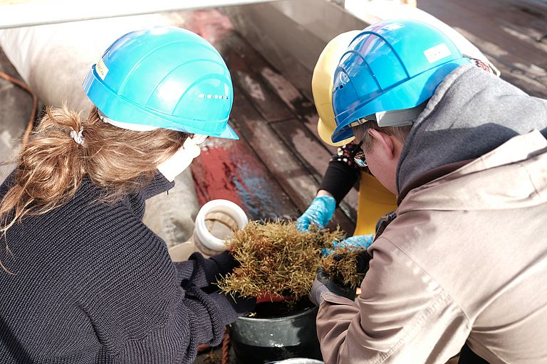 During expedition SO279, scientists are taking samples of brown algae (Sargassum) in the central North Atlantic.